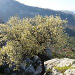 Lipo stablo odma ispod samog vrha Markezine..